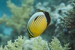 BD-150223-Sharm-6478-Chaetodon-austriacus.-Rüppell.-1836-[Blacktail-butterflyfish].jpg